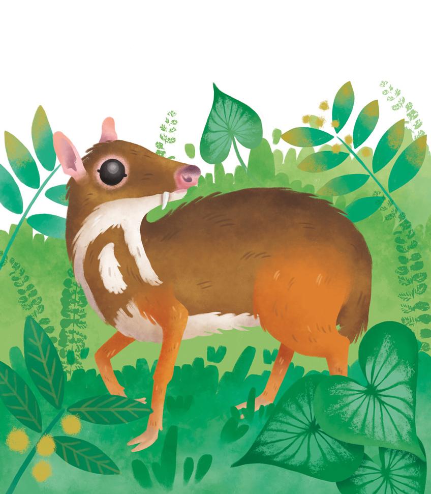 Illustration of a lesser mouse-deer