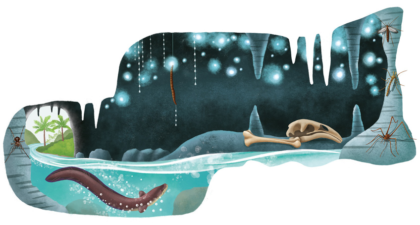 Illustration of the Waitomo Cave with a spider, an eel and glow worms