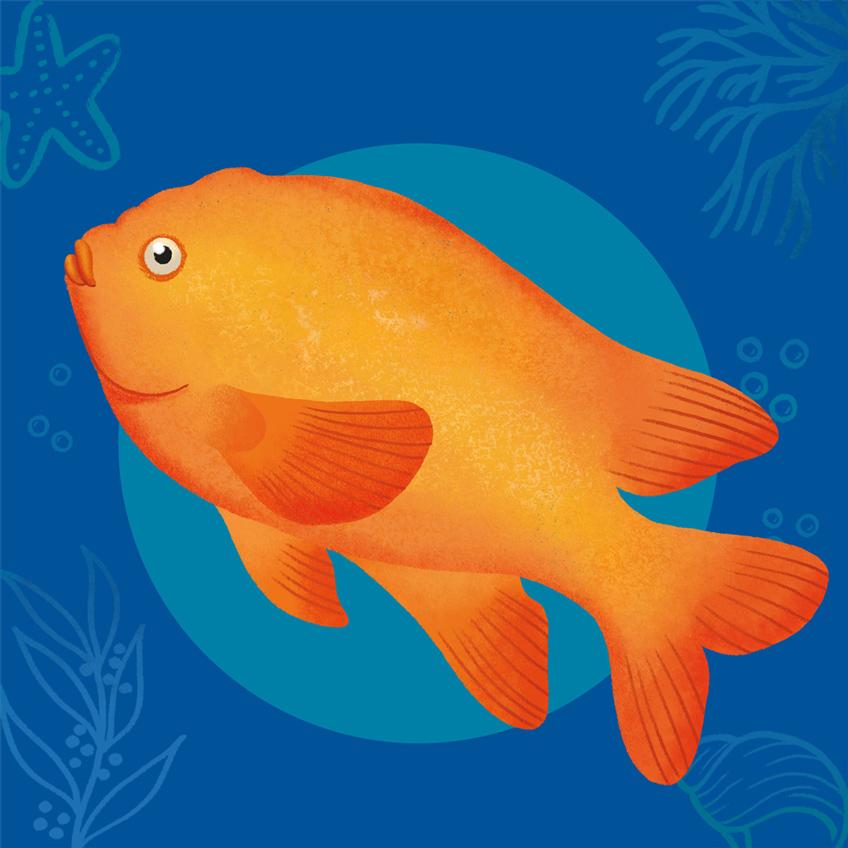 A red Garibaldi fish