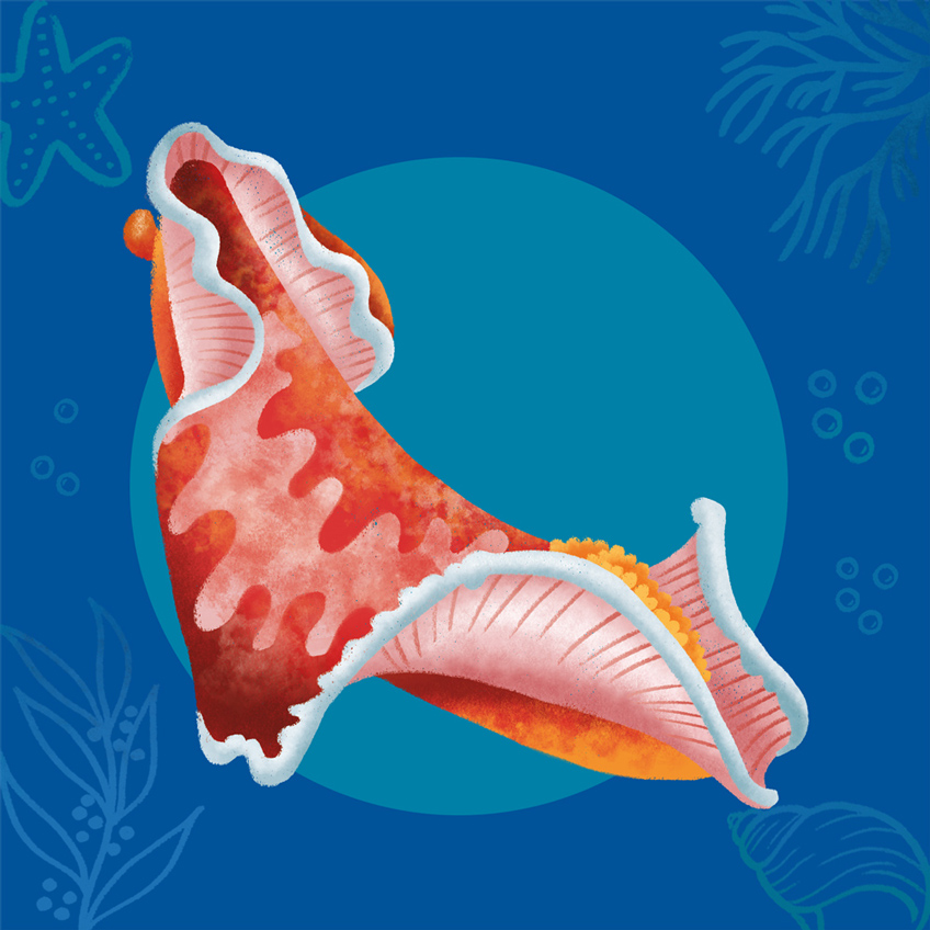 Illustration of a red mollusk: the spanish dancer